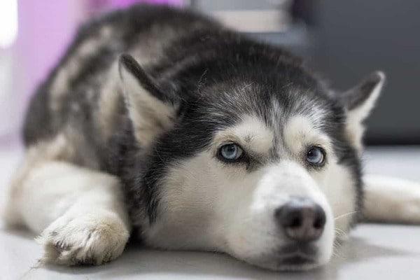 Đôi mặt đẹp của chó Husky