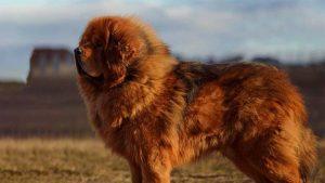 Giá chó Ngao Tây Tạng