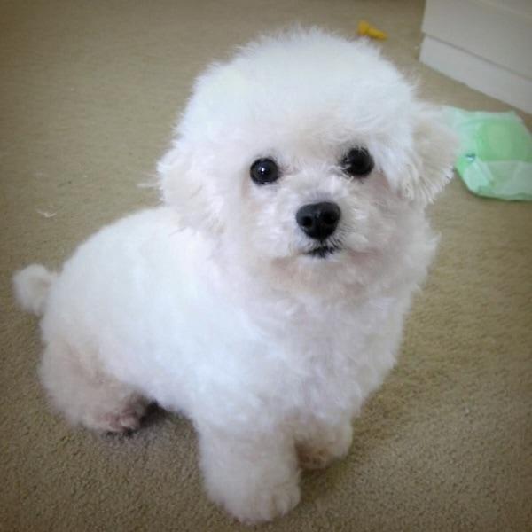 Giá chó Tiny Poodle