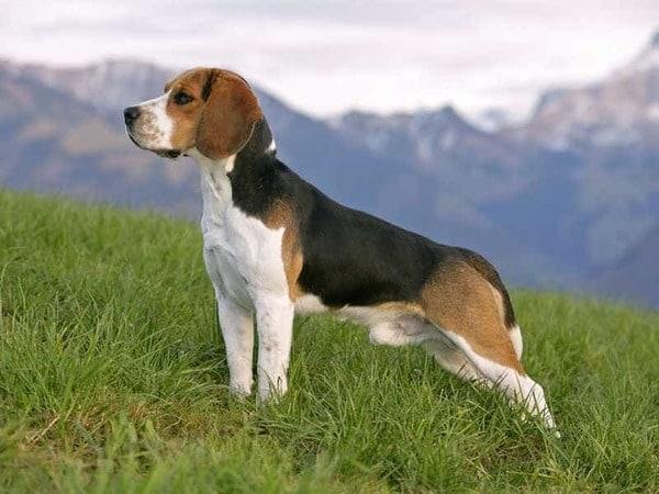 Chó Beagle được ưa chuộng