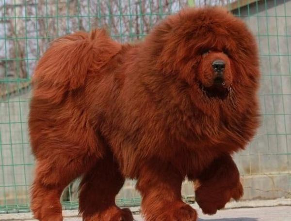 Đặc điểm chó Ngao Tây Tạng