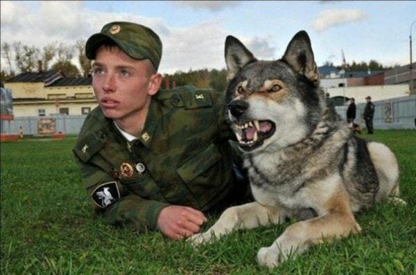 Huấn luyện chó lai sói