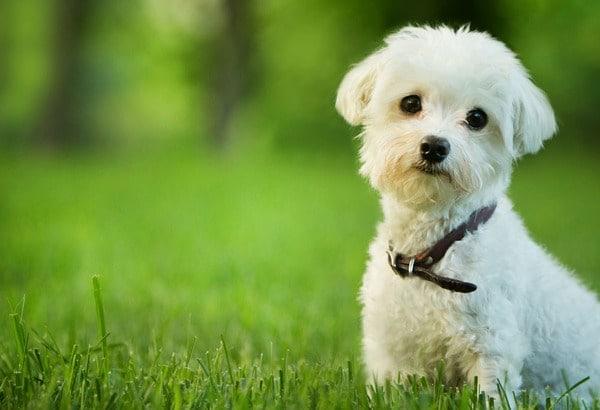 nguồn gốc loài chó quý tộc Maltese