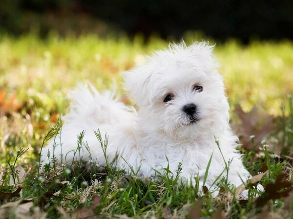 Mức giá chó Tiny Poodle