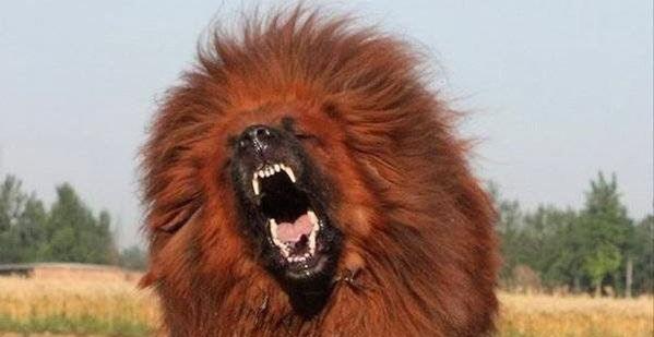 Chó Ngao trông rất dữ tợn