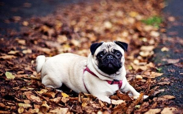 Ngoại hình chó Pug