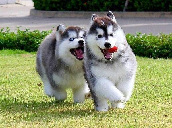 Phân biệt chó Alaska lai