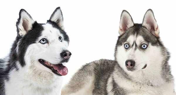 Alaska với Husky