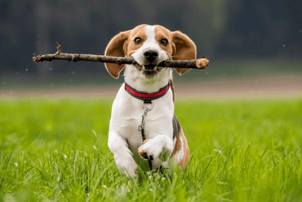 Tập luyện đầy đủ cho chó Beagle