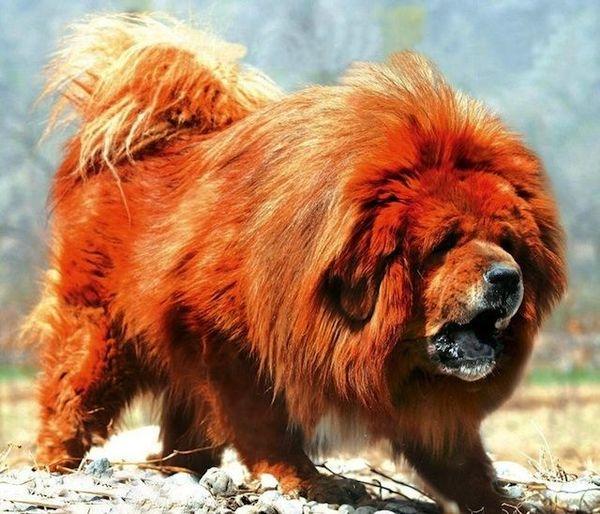 Thân hình khổng lồ của chó Ngao