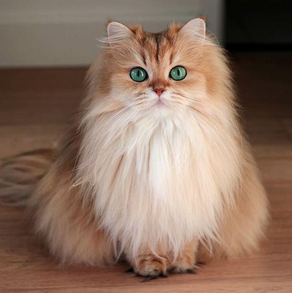 Lưu ý khi phối giống mèo Anh lông dài