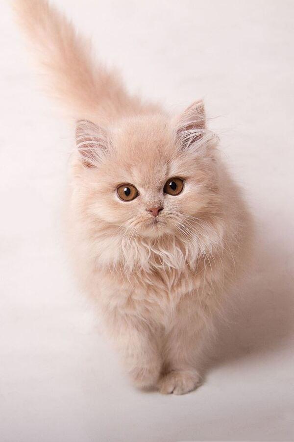 Chăm sóc lông mèo Anh