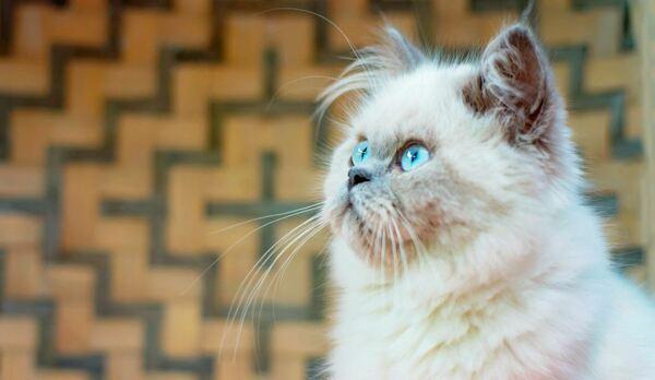 Mức giá mèo Himalaya hiện nay