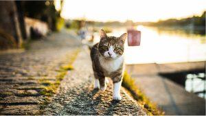 Chăm sóc mèo Anh lông dài