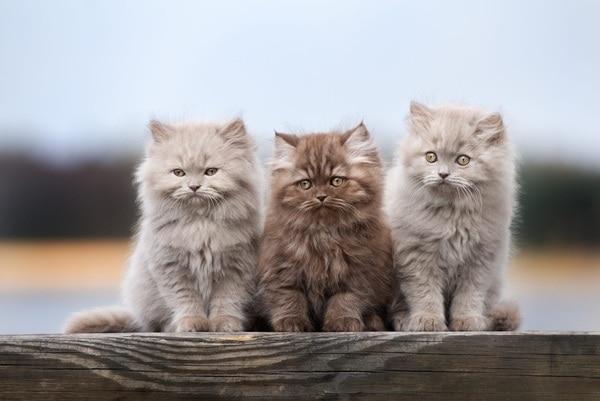 Tìm hiểu cách chăm sóc mèo Anh lông dài