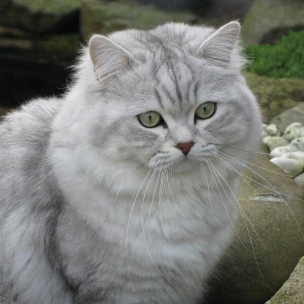 Nguồn gốc Mèo Anh lông dài