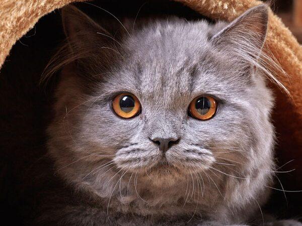 Mèo Anh lông dài đáng yêu