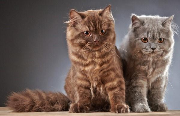 Bộ lông mèo Anh lông dài