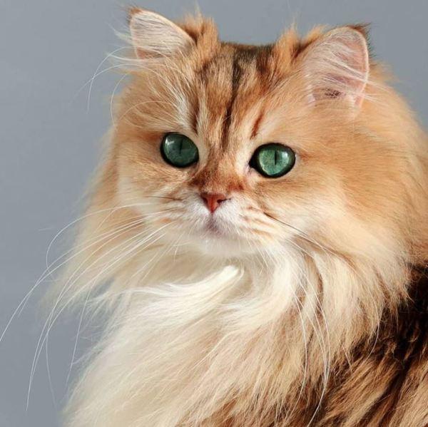 Tính cách mèo Anh lông dài