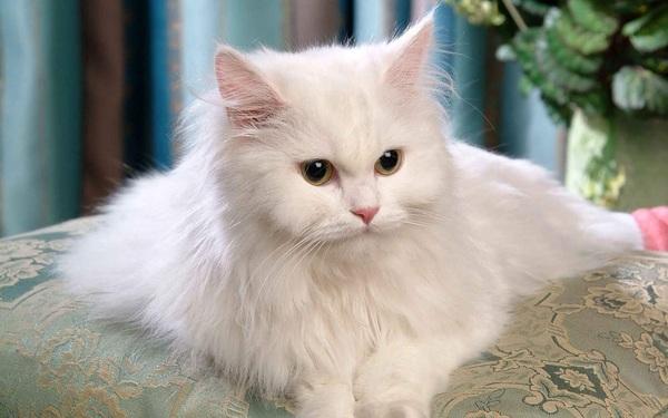 Tìm hiểu nguồn gốc mèo Ba Tư