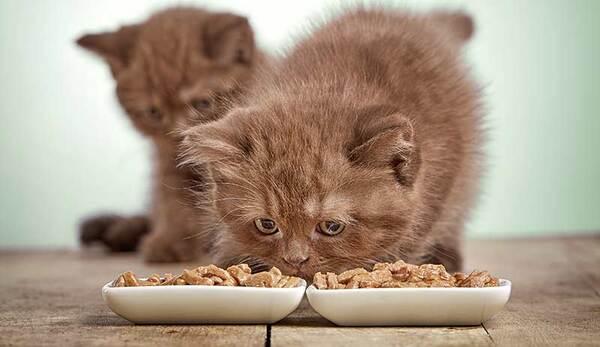 Lựa chọn thức ăn cho mèo Ba Tư