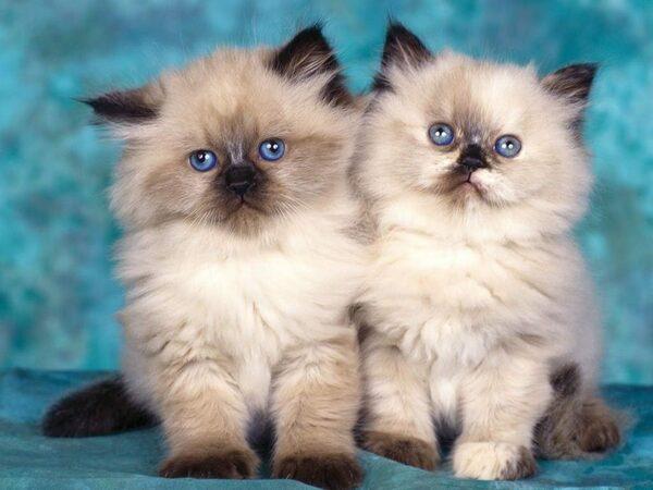 Chăm sóc lông cho mèo Ba Tư