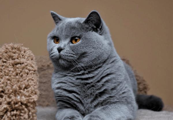 Đặc điểm ngoại hình mèo Anh lông ngắn