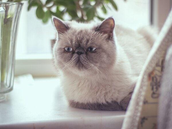 Định giá mèo Ba Tư