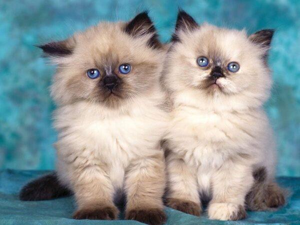 giá mèo ba tư