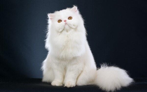 giá mèo ba tư lông dài