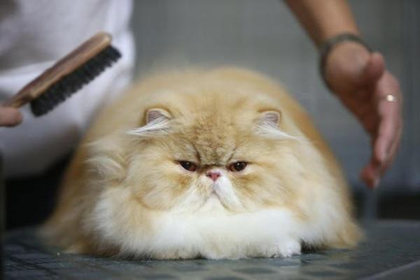 giá mèo Ba Tư mặt tịt