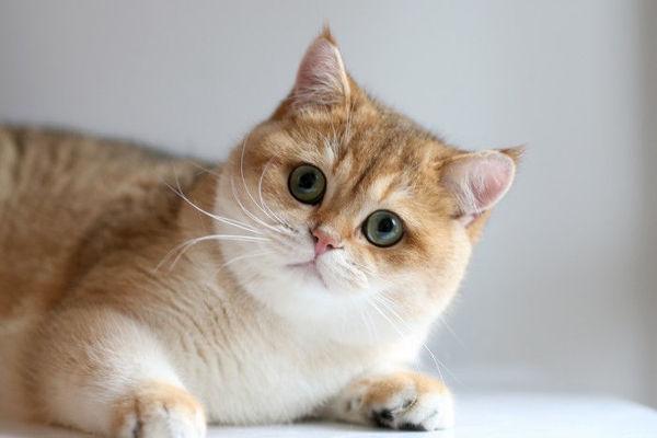 Màu lông mèo anh lông ngắn