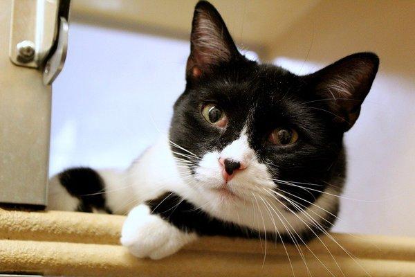 Giá mèo Tuxedo hiện nay