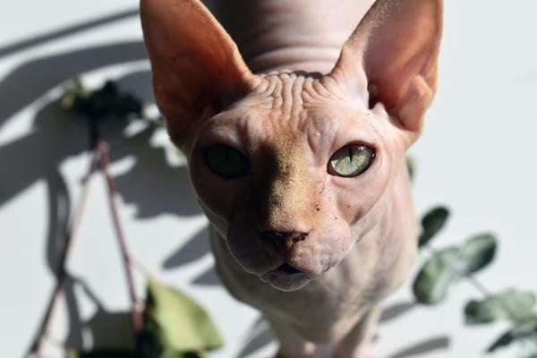 Đặc điểm mèo Ai Cập
