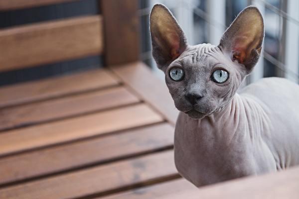 Yếu tố quyết định giá mèo Ai Cập