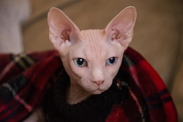 Thường xuyên vệ sinh cho mèo Ai Cập