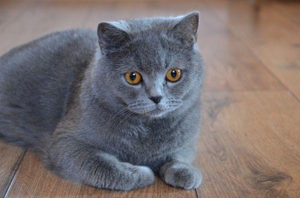 Mèo Anh lông ngắn xám xanh