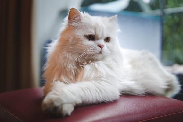 Nguồn gốc mèo Ba Tư