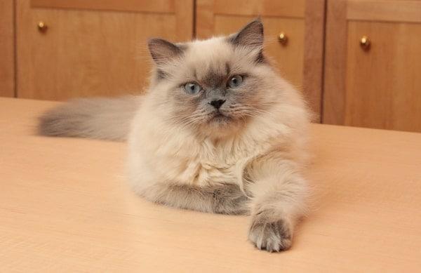 Mèo Ba Tư Himalayan