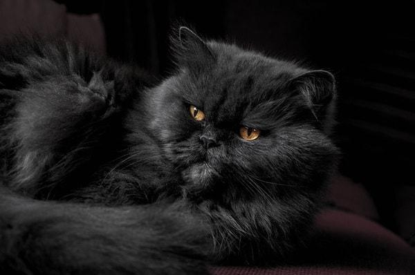 Mèo Ba Tư đen