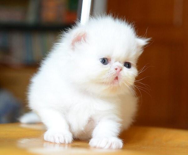 Mèo Ba Tư lông trắng