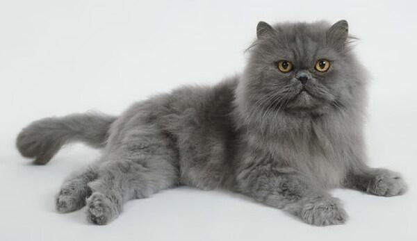 Mèo Ba Tư lông xám