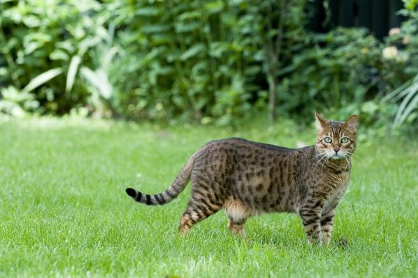 Nguồn gốc mèo bengal