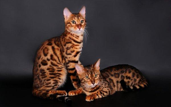 Ngoại hình đặc biệt của mèo Bengal