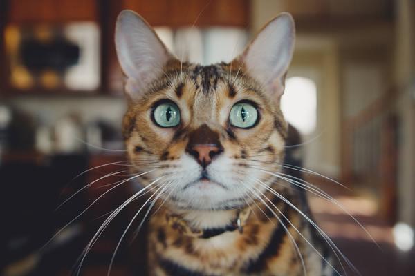 Tính cách thông minh, lanh lợi của mèo Bengal