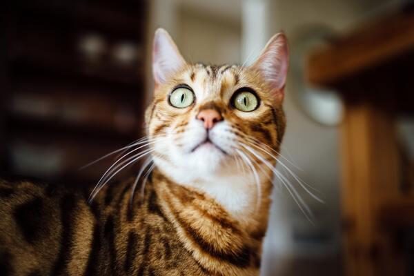 Lựa chọn thức ăn cho mèo bengal