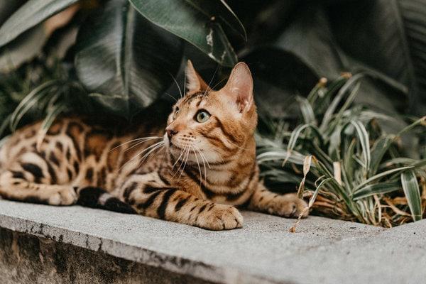 Màu lông đặc biệt của mèo bengal