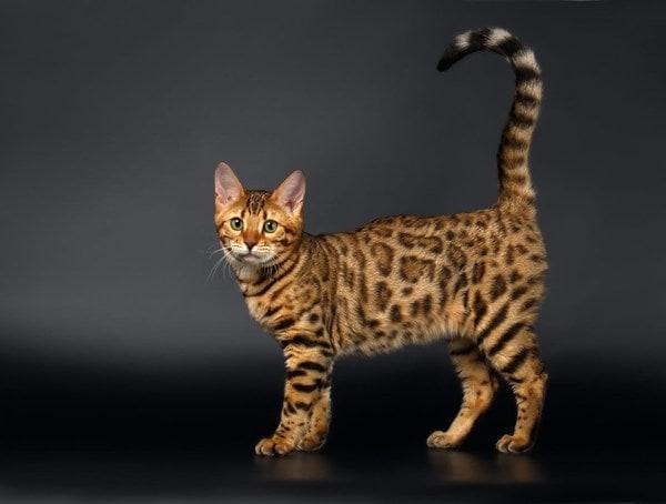 Những điều thú vị về mèo bengal