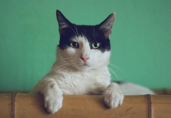 Giống mèo Xiêm