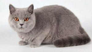 Với vẻ ngoài hiền dịu dễ thương, tính cách gần gũi, thân thiện, mèo Anh lông dài được nhân giống và nhập khẩu ở rất nhiều nơi